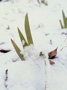 Iris shoots poking through snow